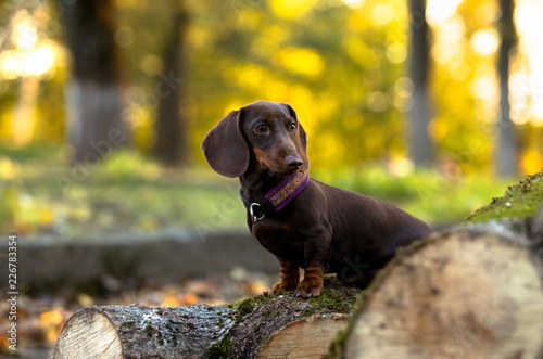 Foto Murales Dachshunds dog in the autumn background