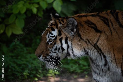 Fototapeta Tigerkopf