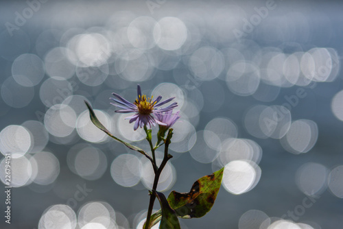 Blume vor See