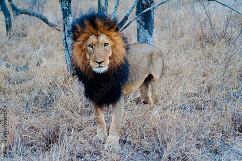 South Africa medium distance shot of a lion relaxing on savannah. Kapama private game reserve. South Africa.