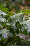 Maple branches under the falling rain - 226810910