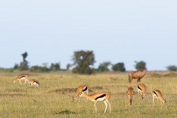 Flock with Thomson's gazelles on the African savannah landscape © Lars Johansson