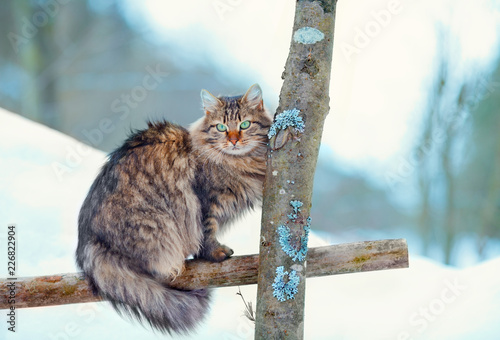 Siberian long hair cat sitting in the winter garden on the wooden fence