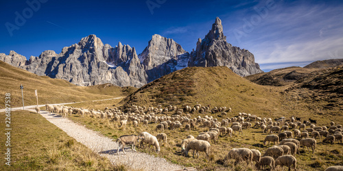 sheep in passo rolle