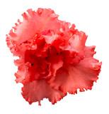 Red Azalea flower isolated on white background