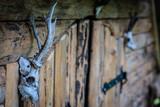 czaszki zwierząt, poroża #4 - 226854314