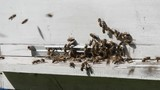 Bees entering the hive - 226856387