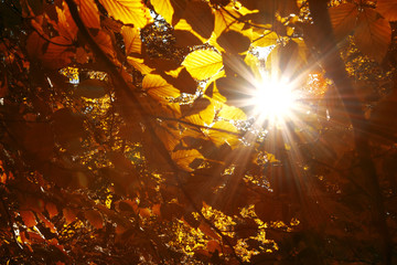 Magic sun rays through gold red colored autumn season leaves. © robsonphoto