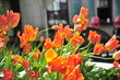 Colorful Spring tulips in bloom in Montreal