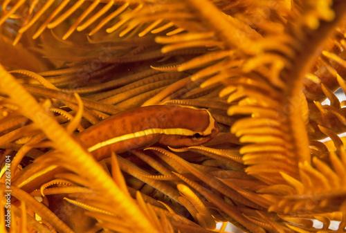 Pomarańczowa ryba w Crinoid