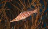 Long Nose Hawkfish