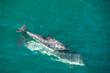 Quadro Dolphin