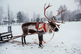 Deer and sledge in Finland - 226887568