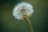 dandelion flower in garden