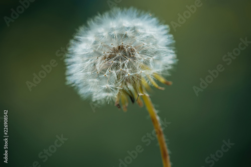 dandelion flower in garden - 226908542