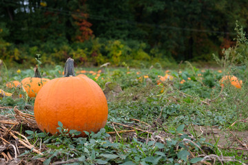 Orange pumpkins in the field for hallowen and fall background