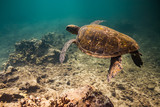 Green sea turtles of Hawaii - 226921987