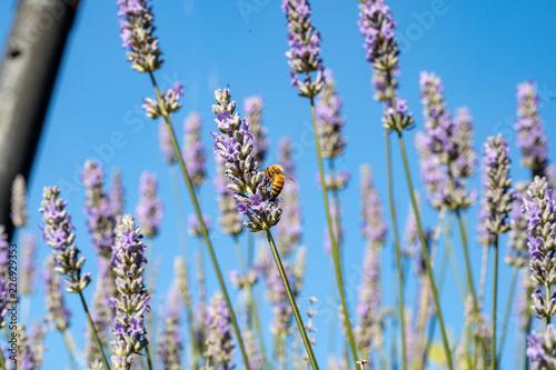 blue sky bee and lavendar