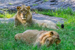 Two male lions relax in the grass and gaze at the camera.