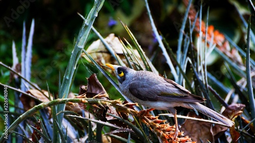 Foto Murales Noisy Miner - A grey bird with a distinctive yellow patch behind the eye, yellow-orange bill and feet and a yellow-olive patch on the wing
