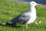 white Seagull on green grass