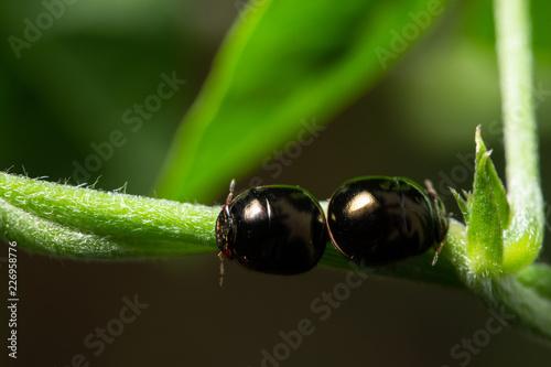 Black Scarab Macro - 226958776