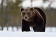 Brown bear walking on snow in late winter. Bear approaching on snow.