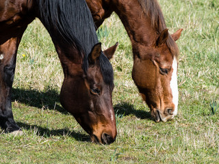Two horses grazing on grass on a pasture