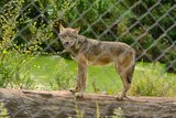 European wolf, Canis lupus lupus, standing on a log over a pond. captive in a safari park.