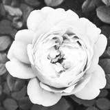 White rose close-up, black and white