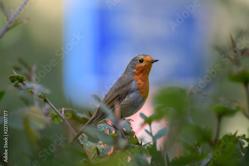 Foto Murales Robin (redbreast) close up with blue traffic sign in the background