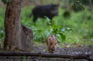Wild Boar in forest Netherlands © Randy van Domselaar