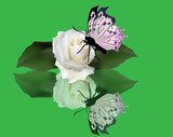 light rose and butterfly with reflection on green background