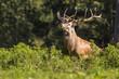 Ein Hirsch hinter einem Gebüsch im Wald