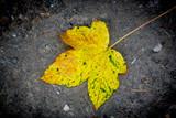 alone autum leaf - 227053385