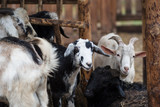 Funny black and white goats on the farm - 227054301