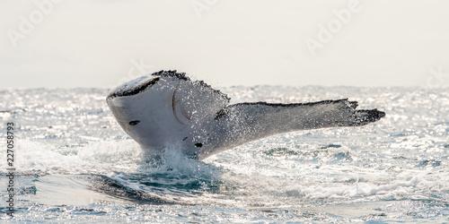 Ogon wieloryba humbaka w Morzu Gabońskim, Zatoka Gwinejska. Ocean z czarnym humbakiem podczas oglądania wielorybów