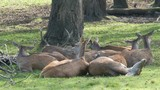 Group of red deer are resting in the forest. Stag and does. Cervus Elaphus - 227065502