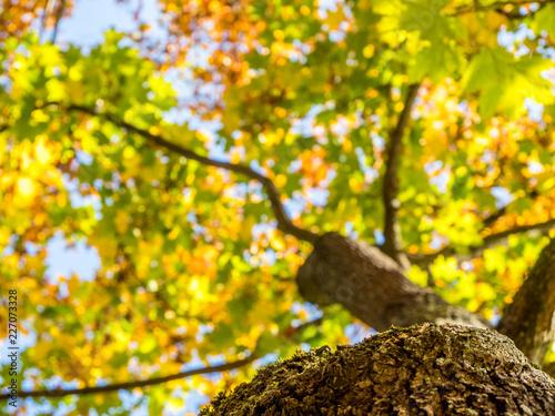 Foto Murales Baum im Herbst