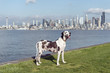 Great dane at park with Seattle skyline over Elliott bay in background