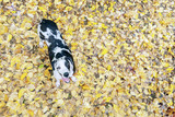 Aerial overhead great dane dog on fallen yellow Autumn leaves