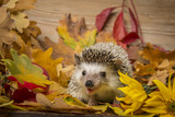Four-toed Hedgehog (African pygmy hedgehog) - Atelerix albiventris funny autumnal picture - 227085972