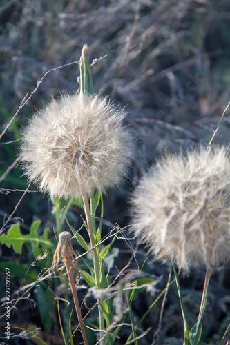 dandelion in the grass - 227091552