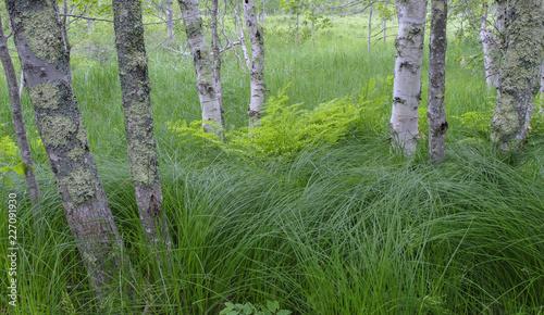 White Birch Trees, Sieur de Monts Nature Area, Acadia National Park, Maine - 227091930