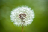 Dandelion flower - 227092158