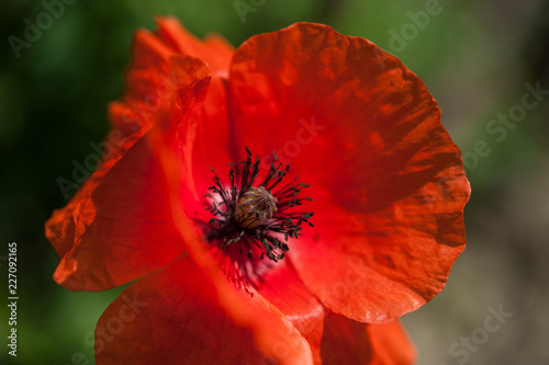 Poppy flower - 227092165
