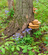 Wild flowers & fungi at base of woodland tree