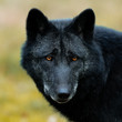 Black Wolf in the forest