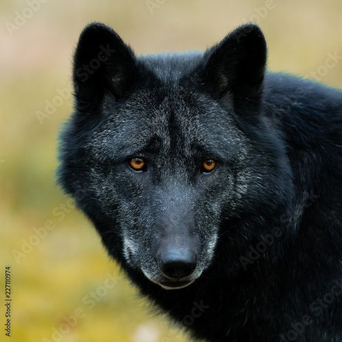 Poster Black Wolf in the forest