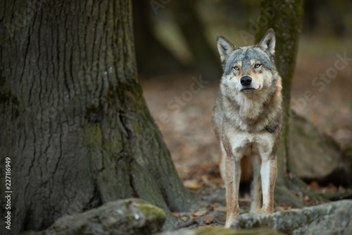 Grey wolf in the forest - 227116949